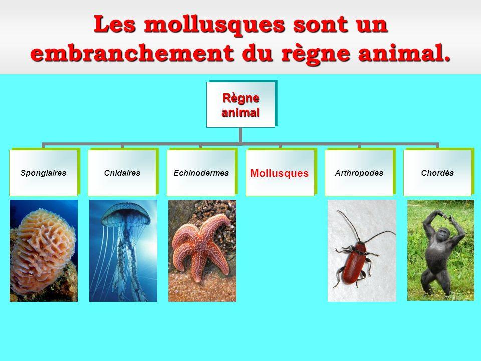 Classe: les bivalves Mollusques Embranchement: Mollusques Clams