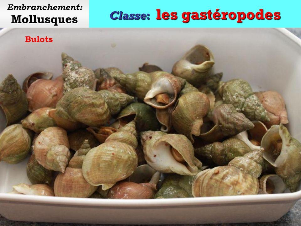 Classe: les gastéropodes Mollusques Embranchement: Mollusques Grande limnée