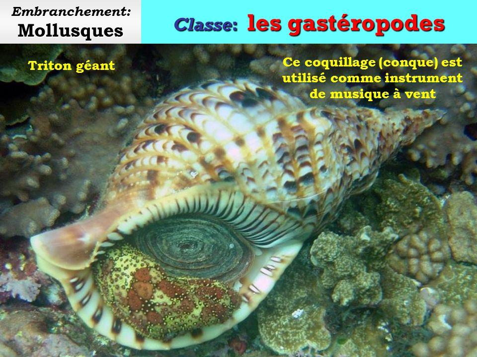 Classe: les gastéropodes Mollusques Embranchement: Mollusques Bigorneau