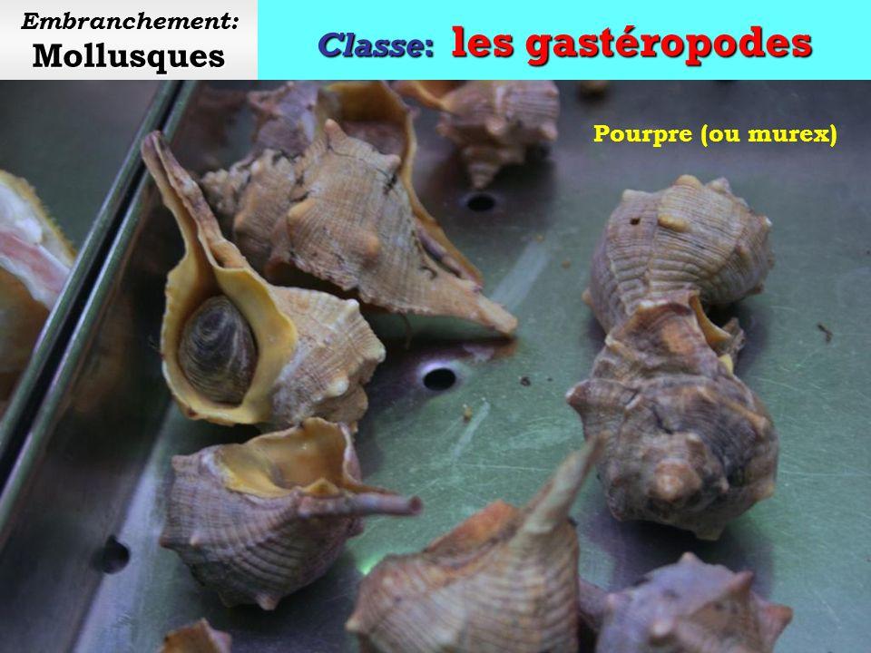 Classe: les gastéropodes Mollusques Embranchement: Mollusques Triton géant Ce coquillage (conque) est utilisé comme instrument de musique à vent