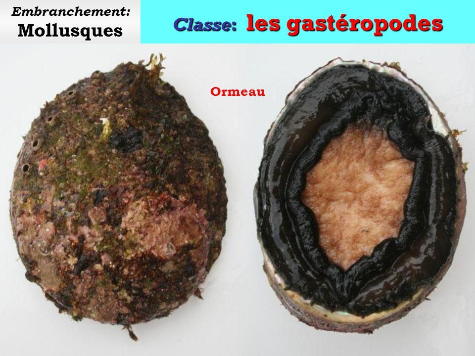 Classe: les gastéropodes Mollusques Embranchement: Mollusques Patelle