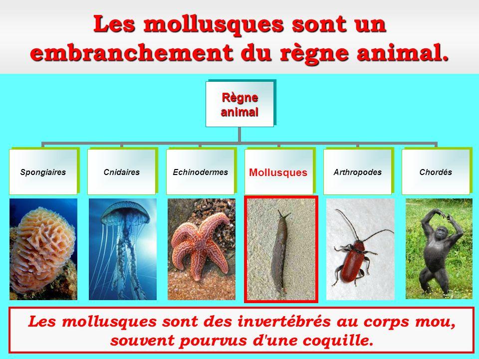 Les mollusques sont un embranchement du règne animal.