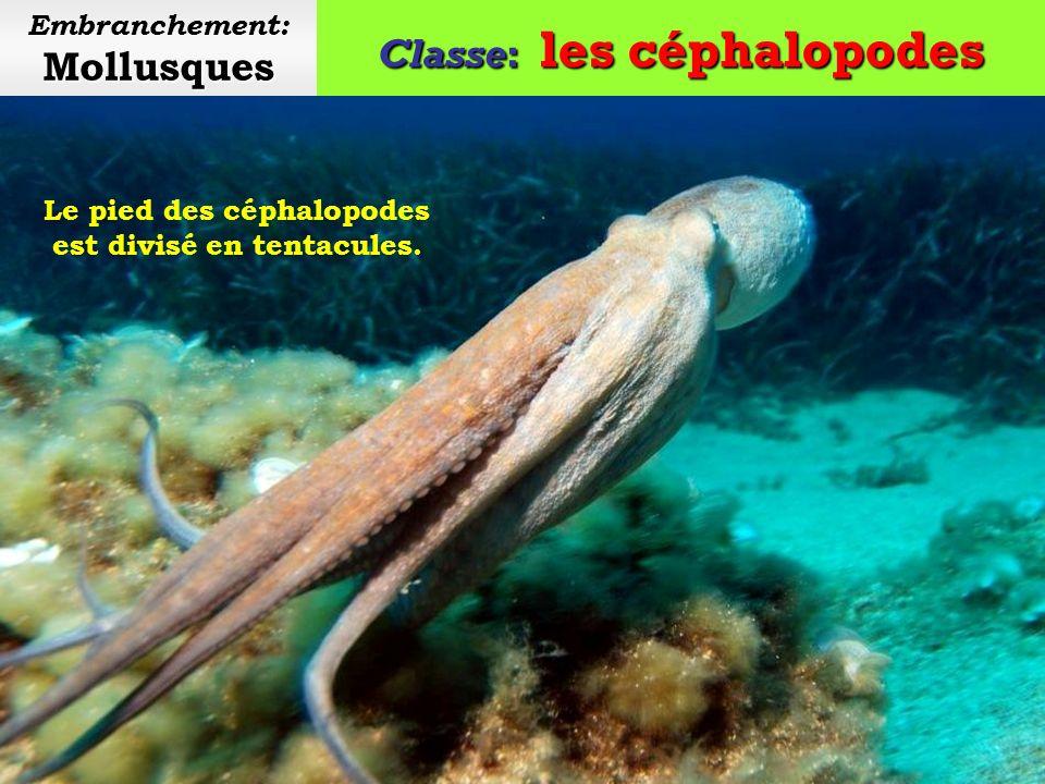 Classe: les céphalopodes Mollusques Embranchement: Mollusques La Teuthologie est une branche de la malacologie consacrée à l étude des céphalopodes.