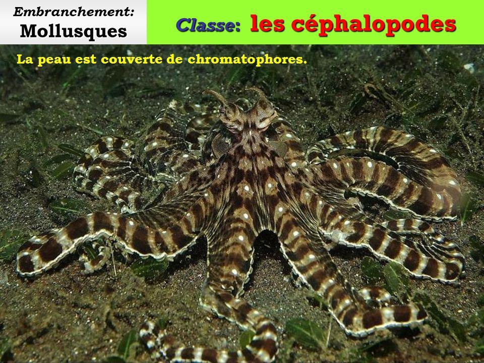 Classe: les céphalopodes Mollusques Embranchement: Mollusques Un entonnoir permet aux céphalopodes dévacuer leau et de nager à reculons.