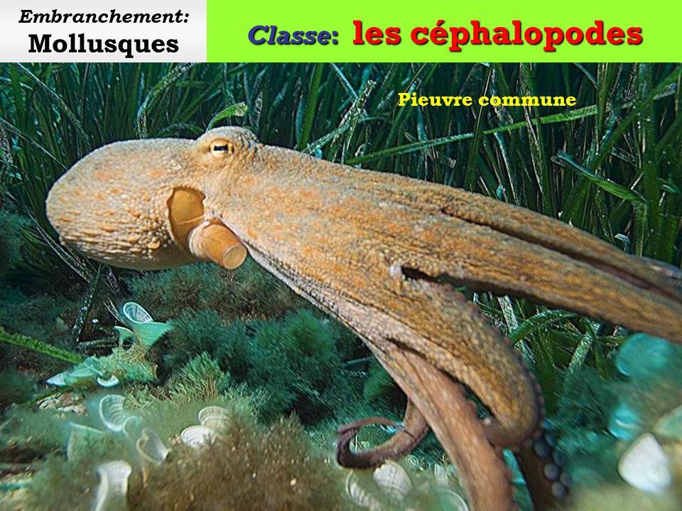 Classe: les céphalopodes Mollusques Embranchement: Mollusques La peau est couverte de chromatophores.