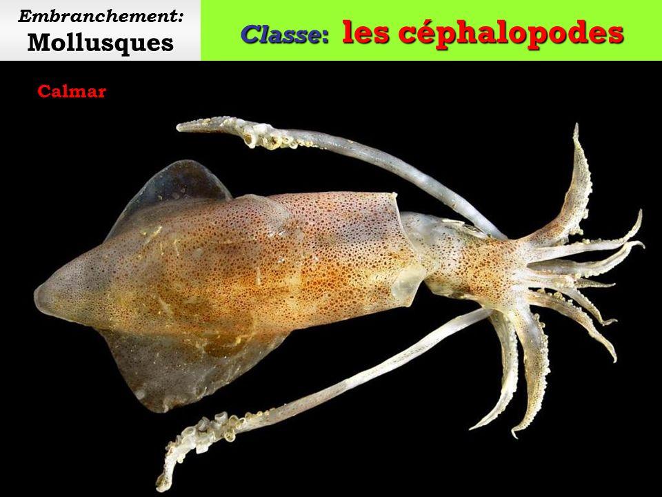 Classe: les céphalopodes Mollusques Embranchement: Mollusques Pieuvre commune