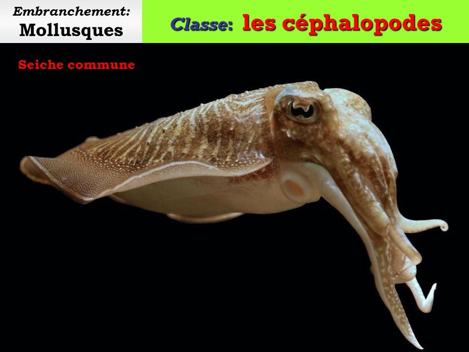 Classe: les céphalopodes Mollusques Embranchement: Mollusques Calmar