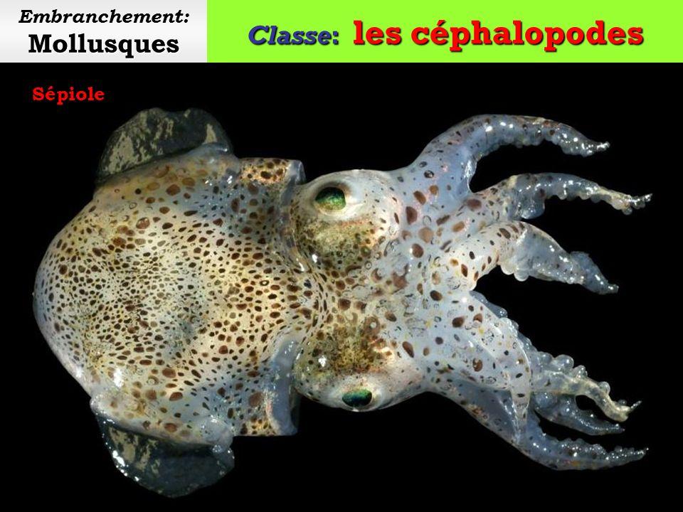 Classe: les céphalopodes Mollusques Embranchement: Mollusques Seiche commune