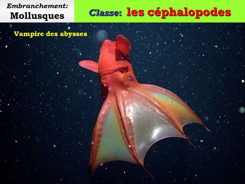 Classe: les céphalopodes Mollusques Embranchement: Mollusques Sépiole