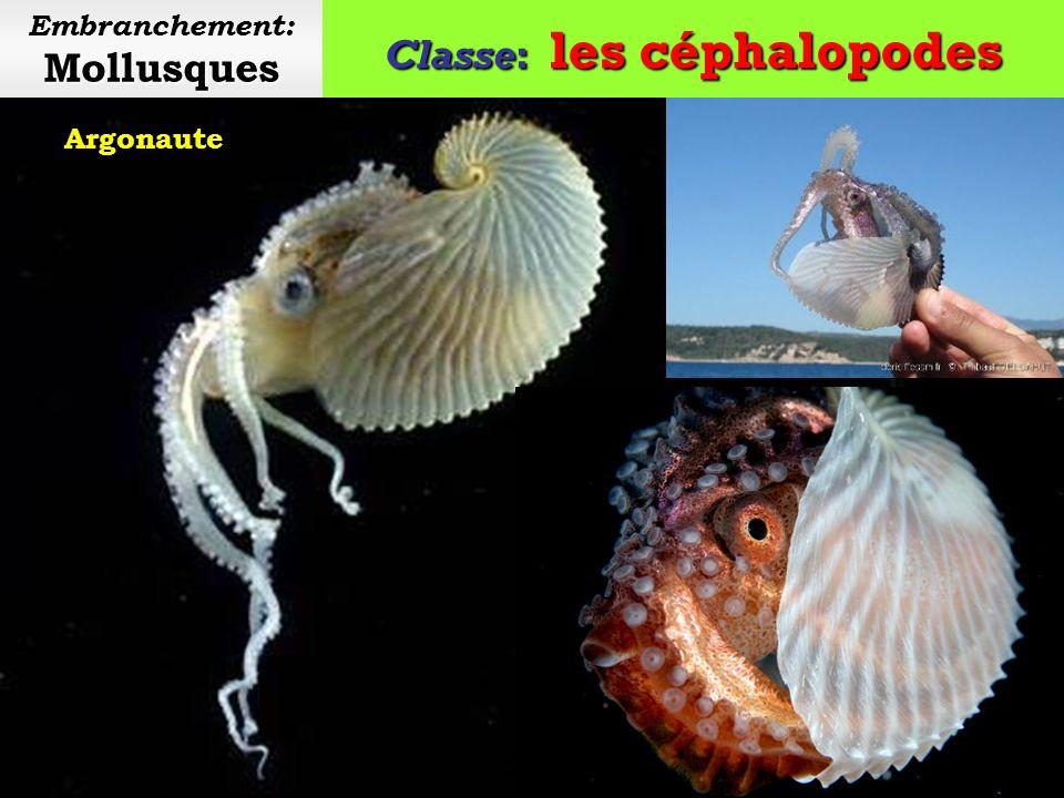 Classe: les céphalopodes Mollusques Embranchement: Mollusques Vampire des abysses