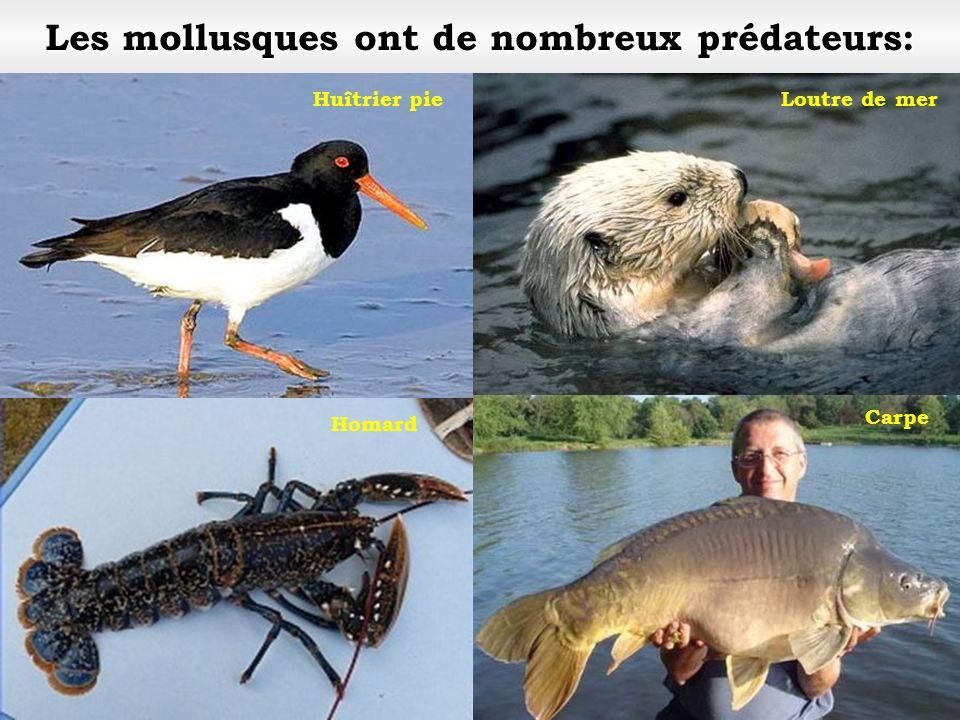 Les mollusques ont de nombreux prédateurs: Loutre de merHuîtrier pie Carpe Homard