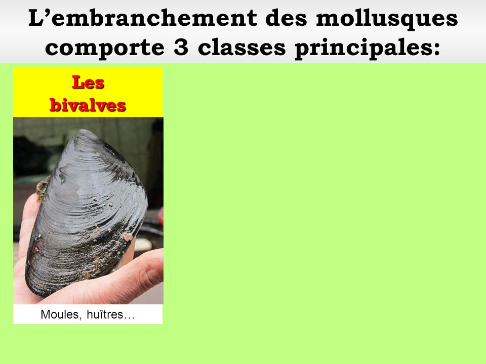 Lembranchement des mollusques comporte 3 classes principales:
