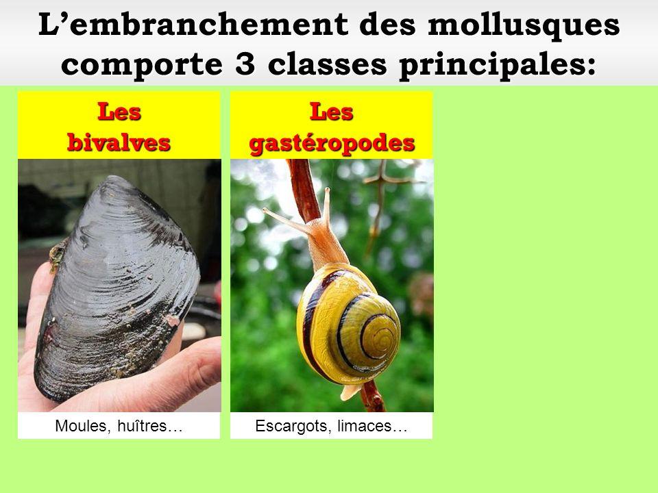 Lembranchement des mollusques comporte 3 classes principales: Les bivalves Les gastéropodes Escargots, limaces…Moules, huîtres…