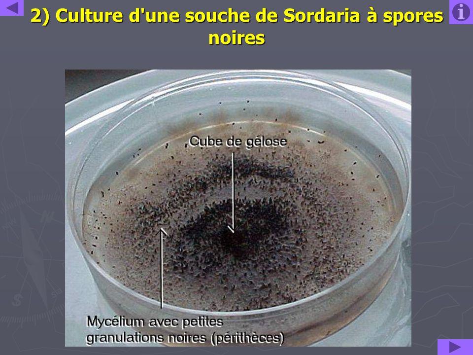 2) Culture d'une souche de Sordaria à spores noires