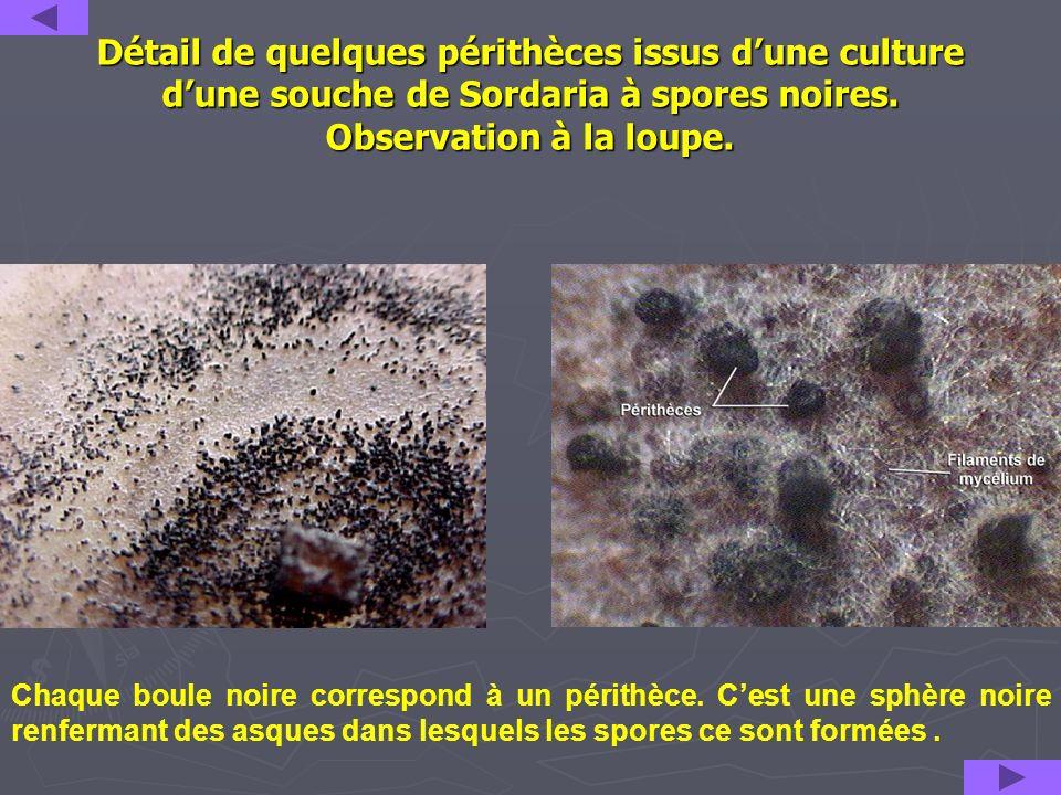 Détail de quelques périthèces issus dune culture dune souche de Sordaria à spores noires. Observation à la loupe. Chaque boule noire correspond à un p