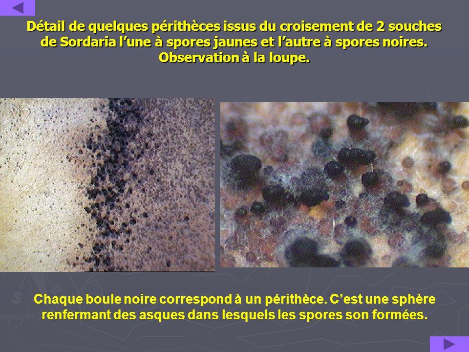 Détail de quelques périthèces issus du croisement de 2 souches de Sordaria lune à spores jaunes et lautre à spores noires. Observation à la loupe. Cha