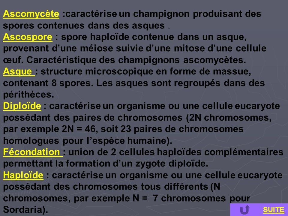 Ascomycète :caractérise un champignon produisant des spores contenues dans des asques. Ascospore : spore haploïde contenue dans un asque, provenant du