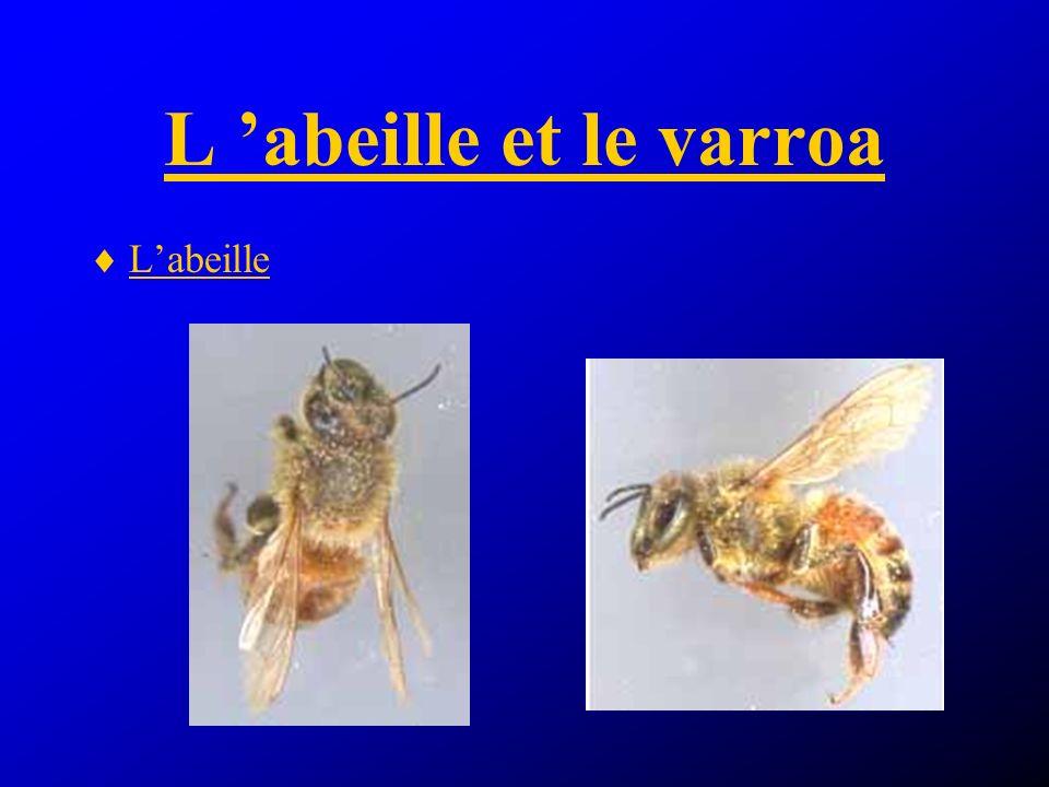 Le varroa Varroa jacobsoni Face dorsale (x55) Face ventrale (x55)