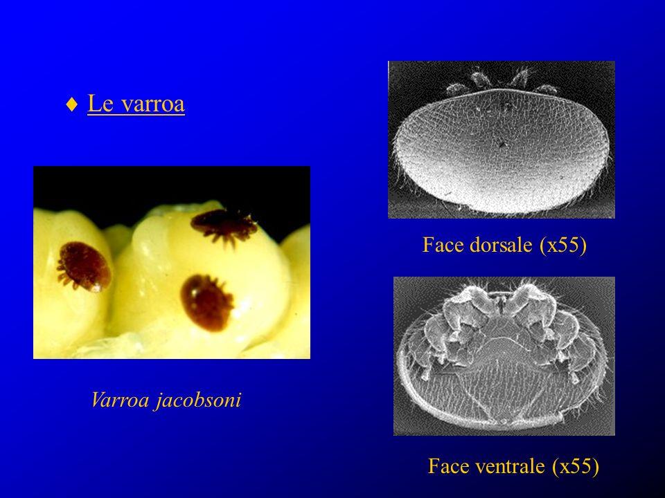 Biologie du varroa la femelle adulte vit sur labeille infestation et ponte dans le couvain operculé (5 à 6 œufs) reproduction nutrition