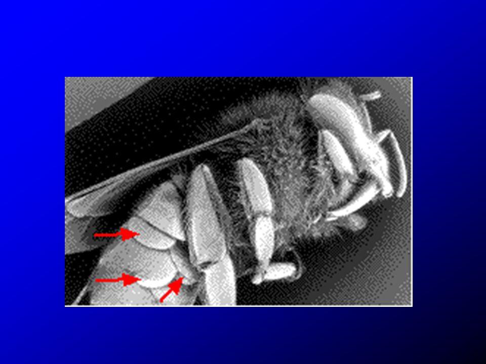 Peu après l operculation de l alveole L abeille est au stade prépupe