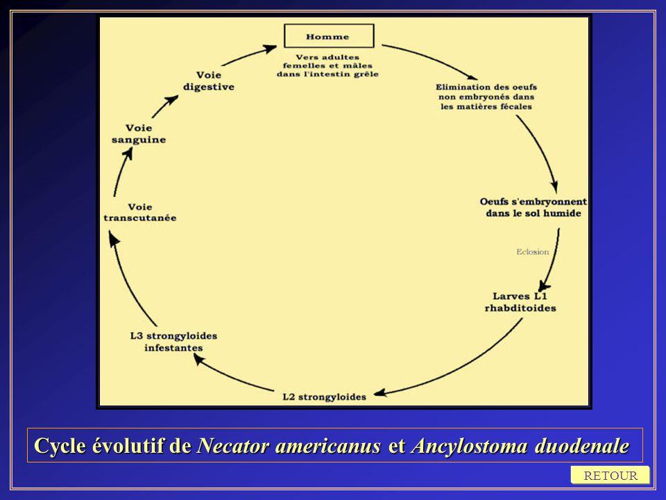 Cycle évolutif de Necator americanus et Ancylostoma duodenale RETOUR