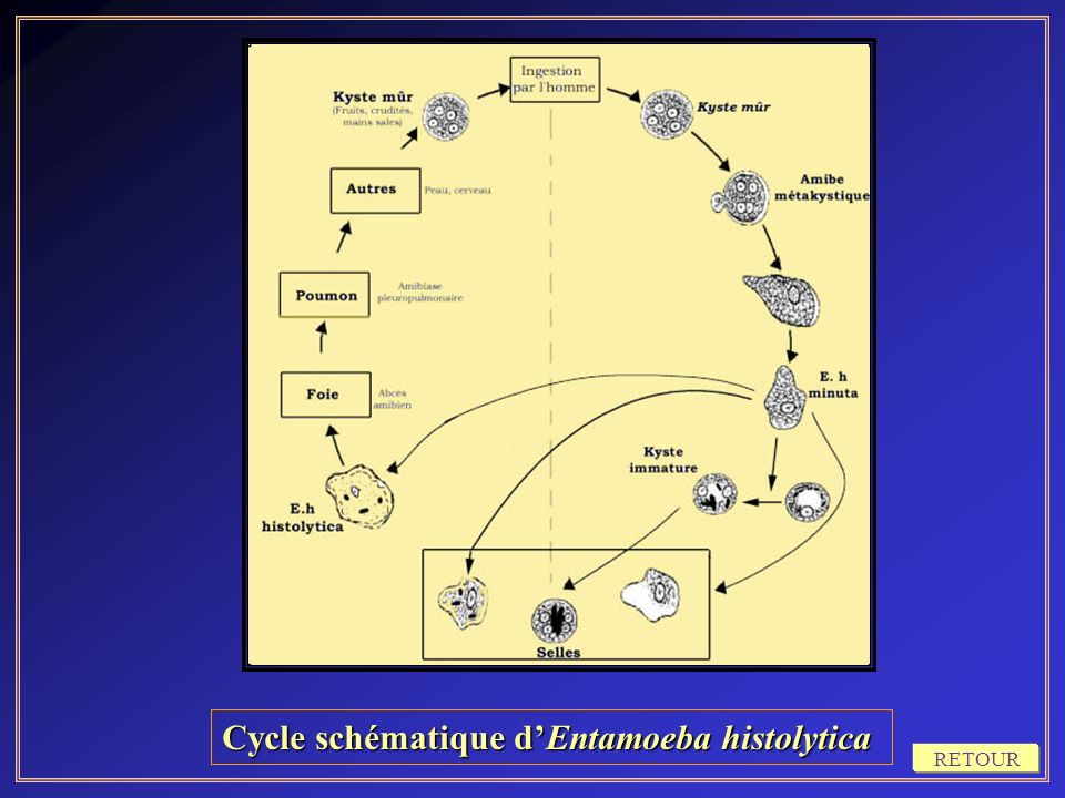Cycle schématique dEntamoeba histolytica