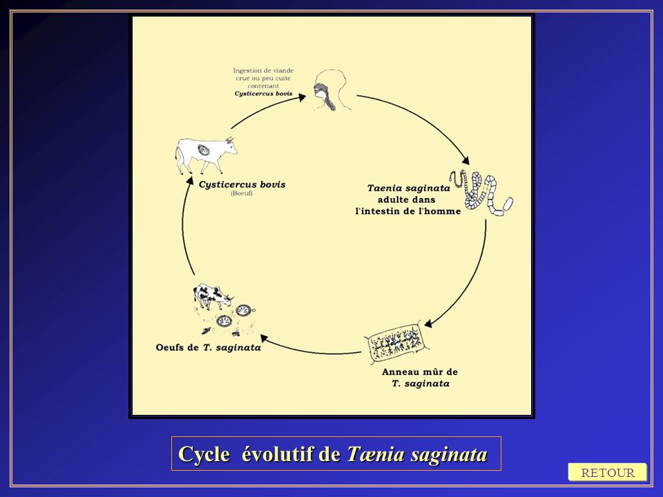 Cycle évolutif de Tænia saginata