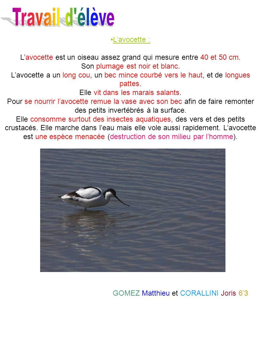 Lavocette : Lavocette est un oiseau assez grand qui mesure entre 40 et 50 cm. Son plumage est noir et blanc. Lavocette a un long cou, un bec mince cou
