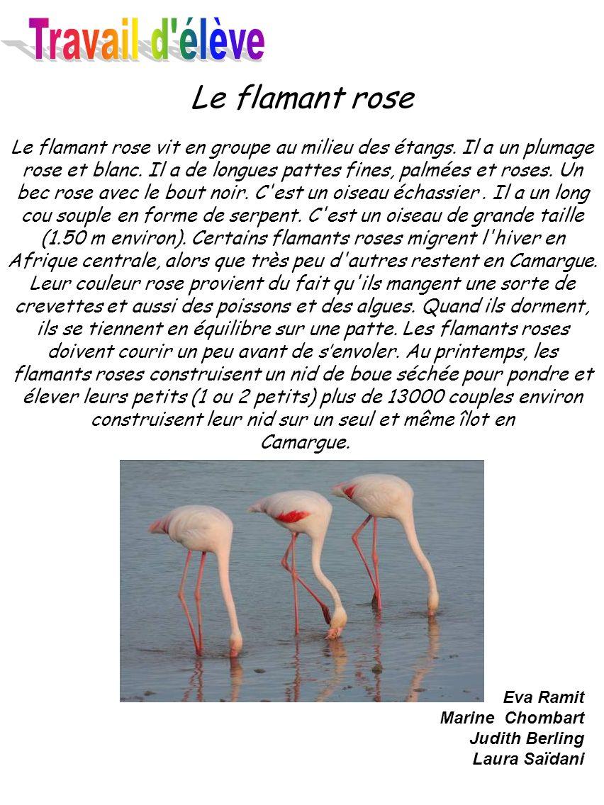 Le flamant rose Le flamant rose vit en groupe au milieu des étangs. Il a un plumage rose et blanc. Il a de longues pattes fines, palmées et roses. Un