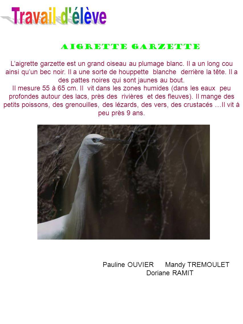 Aigrette garzette Laigrette garzette est un grand oiseau au plumage blanc. Il a un long cou ainsi quun bec noir. Il a une sorte de houppette blanche d