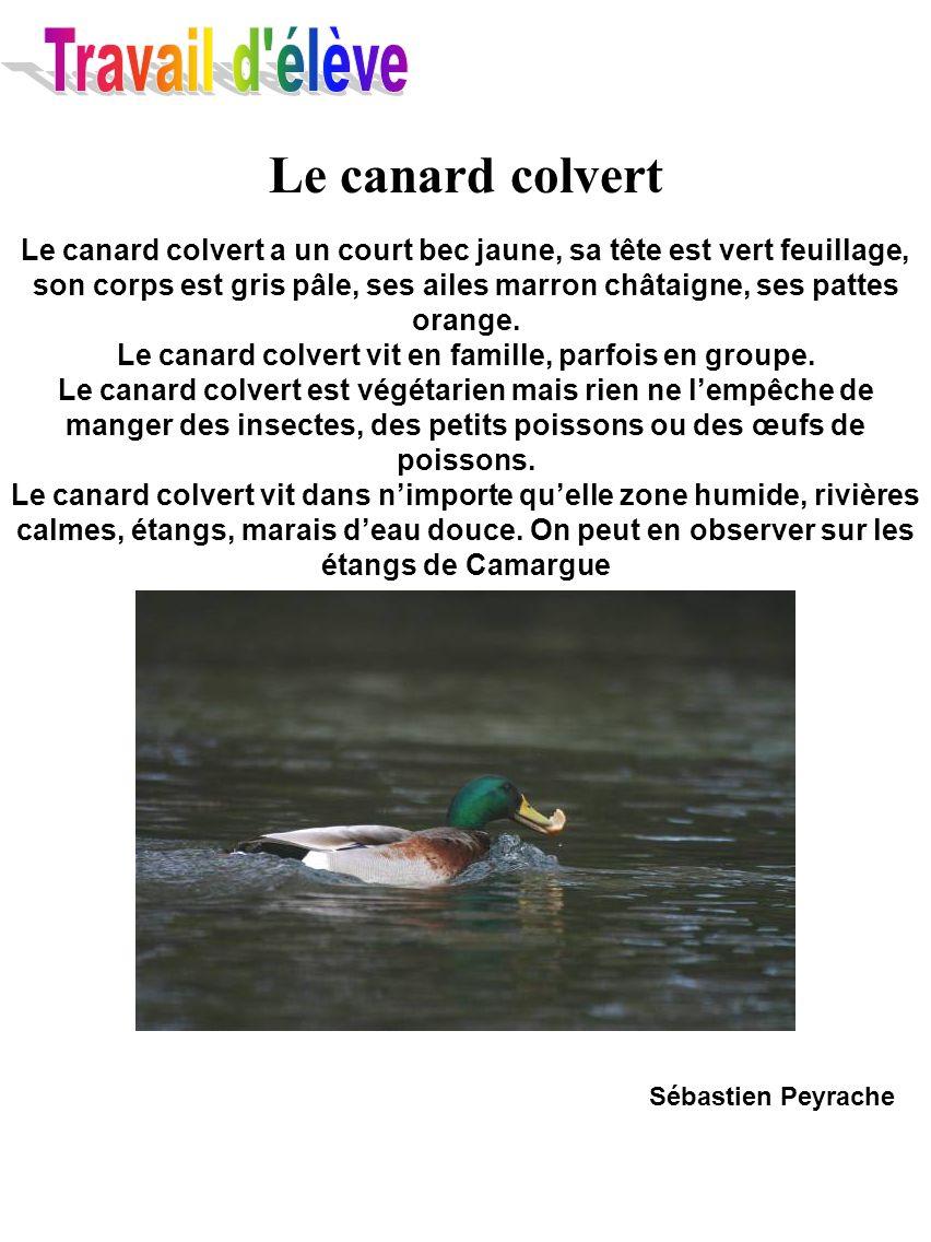 Le canard colvert Le canard colvert a un court bec jaune, sa tête est vert feuillage, son corps est gris pâle, ses ailes marron châtaigne, ses pattes