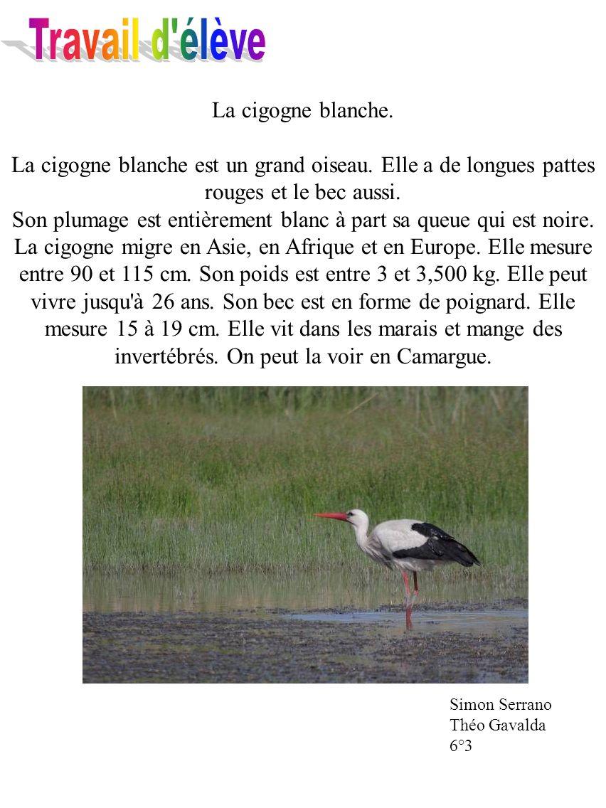 La cigogne blanche. La cigogne blanche est un grand oiseau. Elle a de longues pattes rouges et le bec aussi. Son plumage est entièrement blanc à part