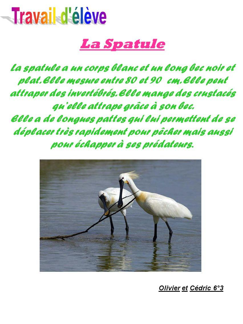 La Spatule La spatule a un corps blanc et un long bec noir et plat. Elle mesure entre 80 et 90 cm. Elle peut attraper des invertébrés. Elle mange des