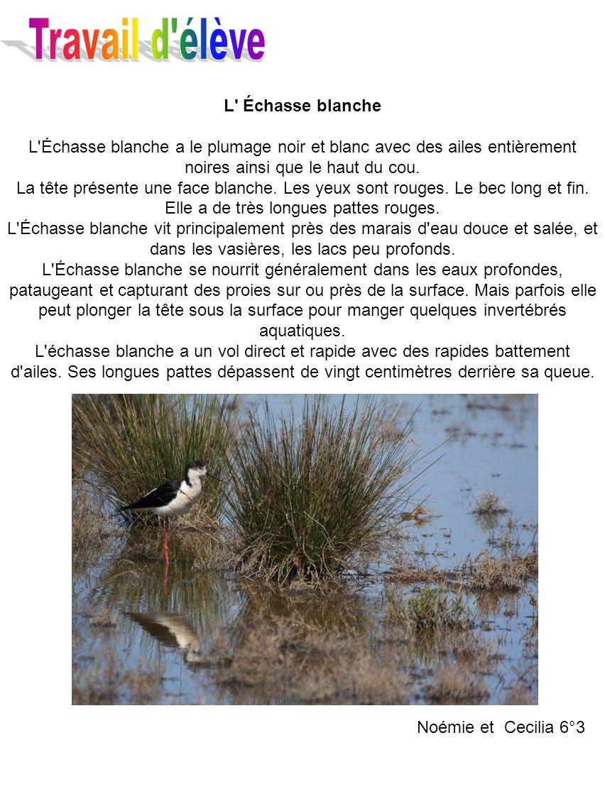 L' Échasse blanche L'Échasse blanche a le plumage noir et blanc avec des ailes entièrement noires ainsi que le haut du cou. La tête présente une face
