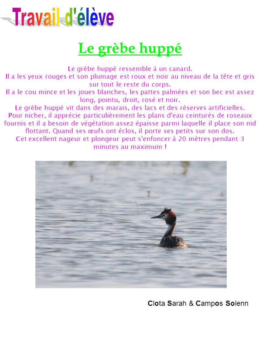 Le grèbe huppé Le grèbe huppé ressemble à un canard. Il a les yeux rouges et son plumage est roux et noir au niveau de la tête et gris sur tout le res