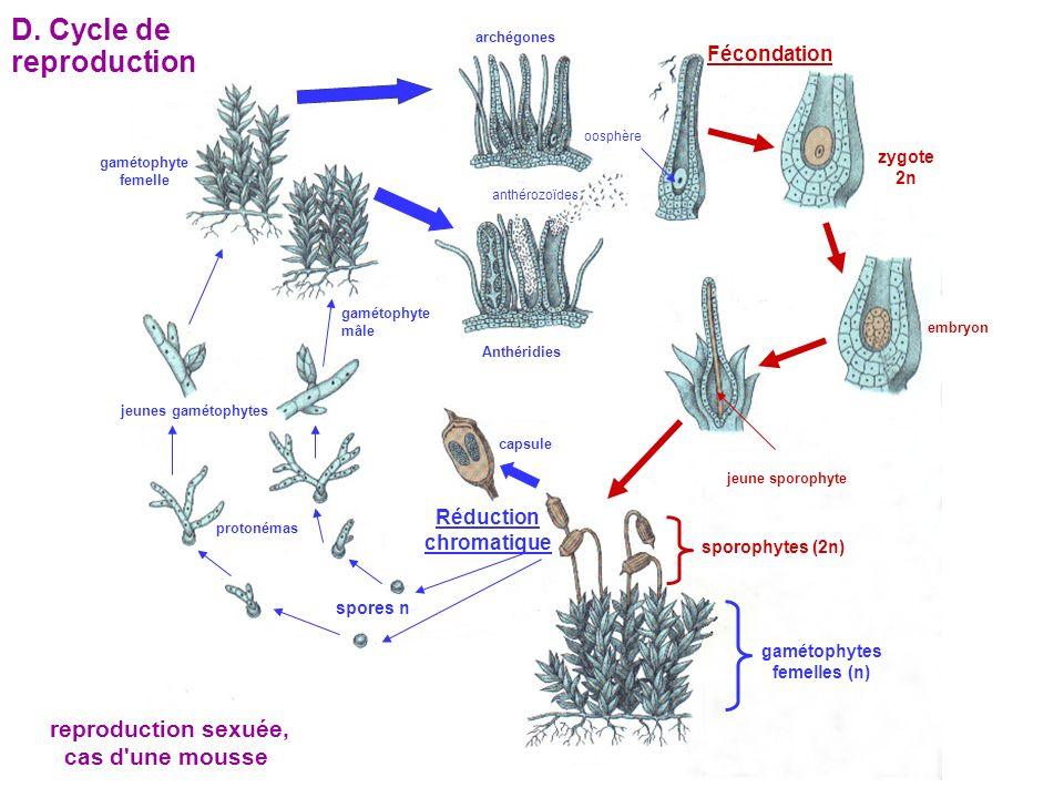 gamétophyte femelle gamétophyte mâle archégones Anthéridies oosphère anthérozoïdes Fécondation zygote 2n embryon jeune sporophyte spores n sporophytes