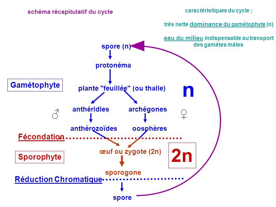 spore (n) protonéma plante
