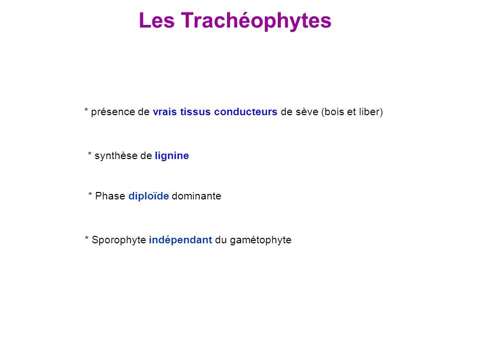 Les Trachéophytes * Phase diploïde dominante * présence de vrais tissus conducteurs de sève (bois et liber) * Sporophyte indépendant du gamétophyte *