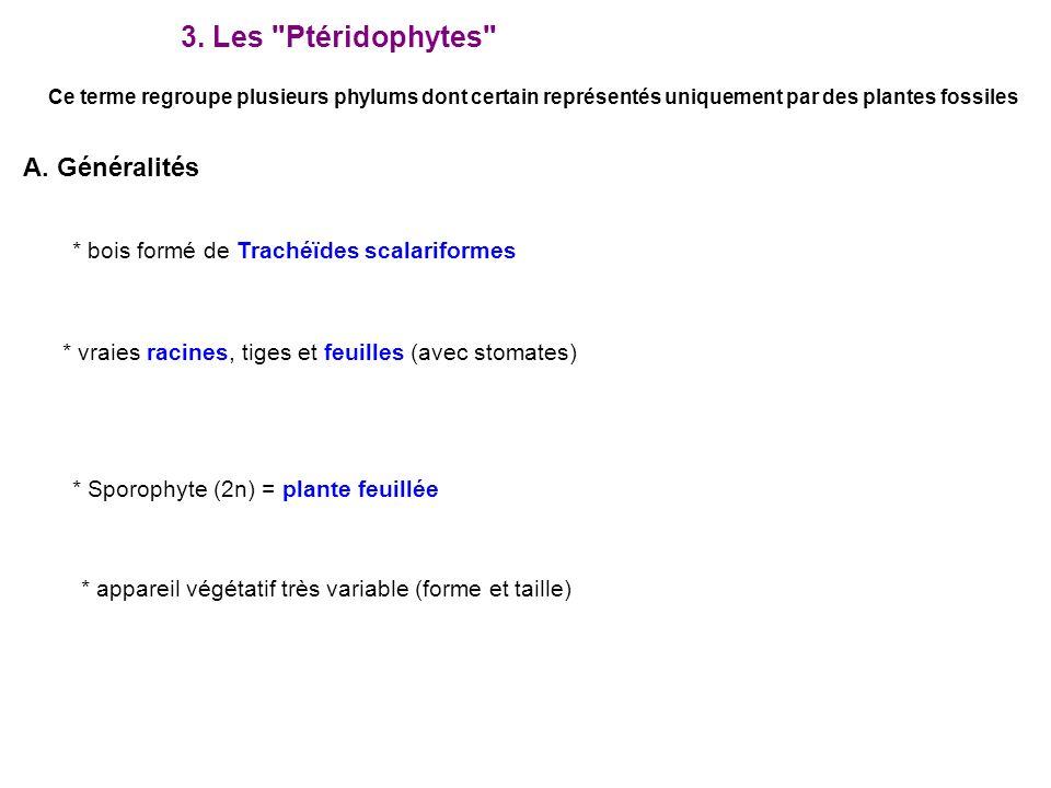 A. Généralités * bois formé de Trachéïdes scalariformes * vraies racines, tiges et feuilles (avec stomates) * Sporophyte (2n) = plante feuillée 3. Les