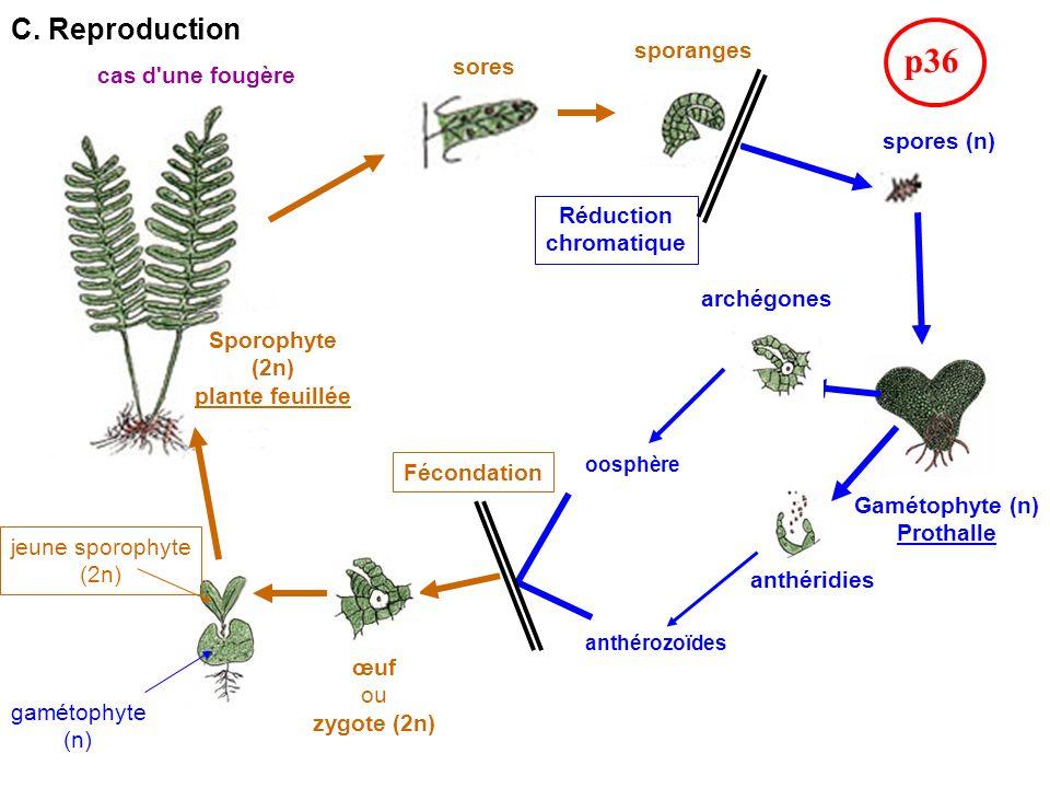 C. Reproduction Sporophyte (2n) plante feuillée sores sporanges spores (n) archégones anthéridies œuf ou zygote (2n) Gamétophyte (n) Prothalle jeune s