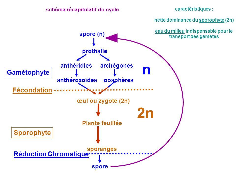 spore (n) prothalle anthéridiesarchégones anthérozoïdesoosphères œuf ou zygote (2n) Gamétophyte Sporophyte Fécondation Réduction Chromatique spore Pla