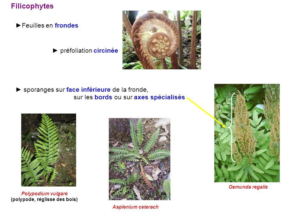 Filicophytes Feuilles en frondes préfoliation circinée sporanges sur face inférieure de la fronde, sur les bords ou sur axes spécialisés Asplenium cet