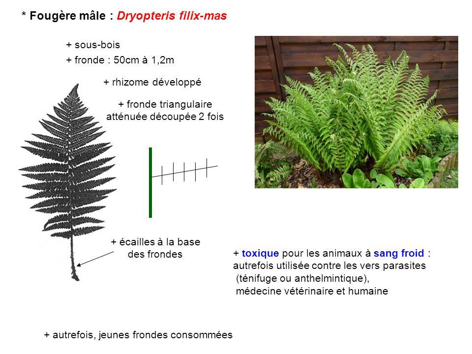 * Fougère mâle : Dryopteris filix-mas + sous-bois + rhizome développé + écailles à la base des frondes + fronde triangulaire atténuée découpée 2 fois
