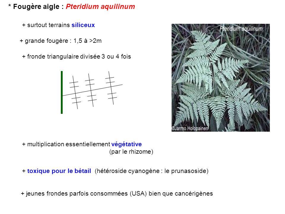 * Fougère aigle : Pteridium aquilinum + grande fougère : 1,5 à >2m + surtout terrains siliceux + multiplication essentiellement végétative (par le rhi