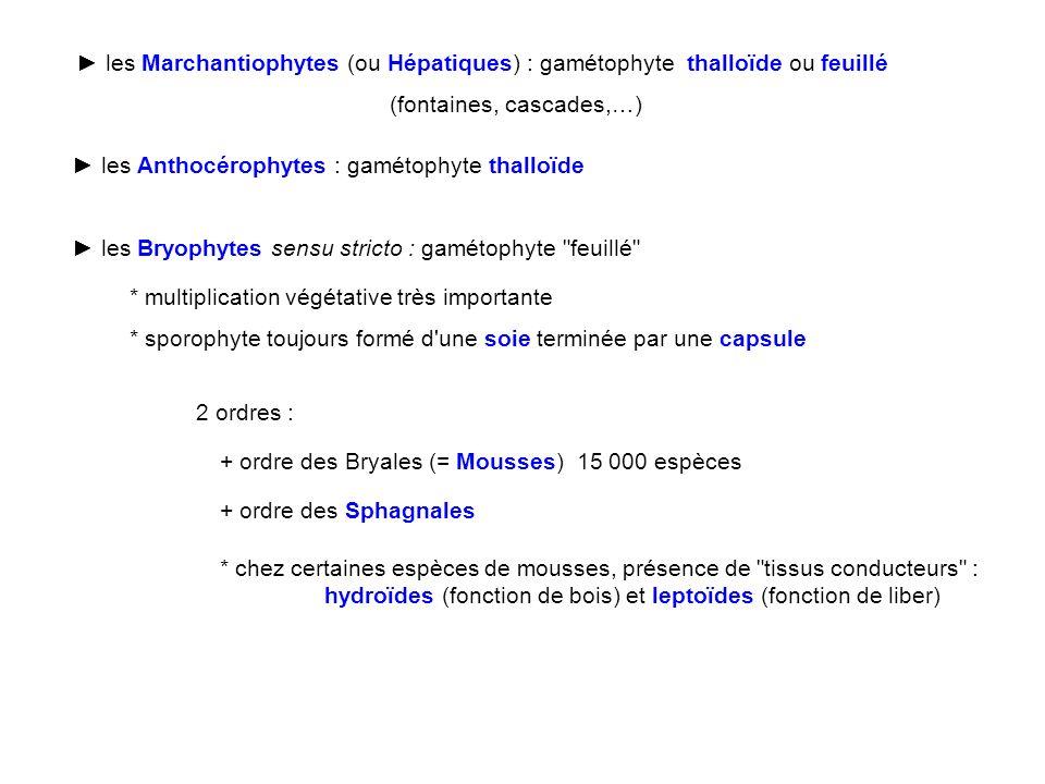 les Marchantiophytes (ou Hépatiques) : gamétophyte thalloïde ou feuillé (fontaines, cascades,…) les Anthocérophytes : gamétophyte thalloïde les Bryoph
