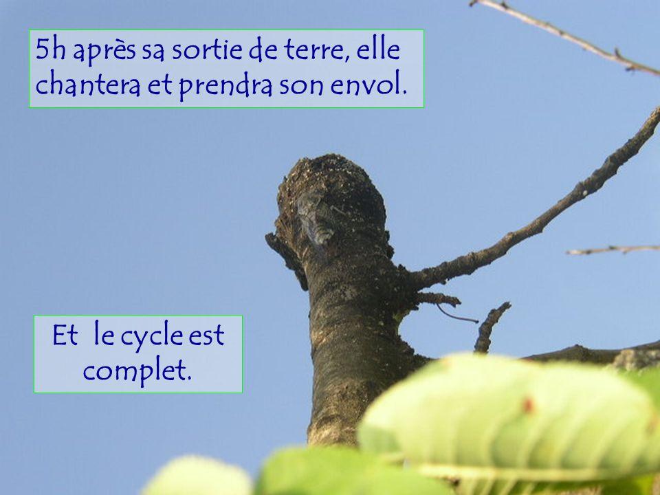 Les larves ensuite se laissent tomber à terre pour sensevelir et se nourrir de la sève de larbre pendant 3 à 6 ans avant de se transformer à leur tour en chrysalide.
