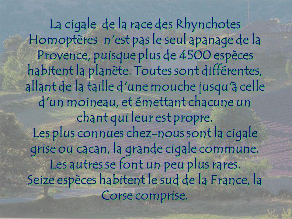 La cigale de la race des Rhynchotes Homoptères n est pas le seul apanage de la Provence, puisque plus de 4500 espèces habitent la planète.