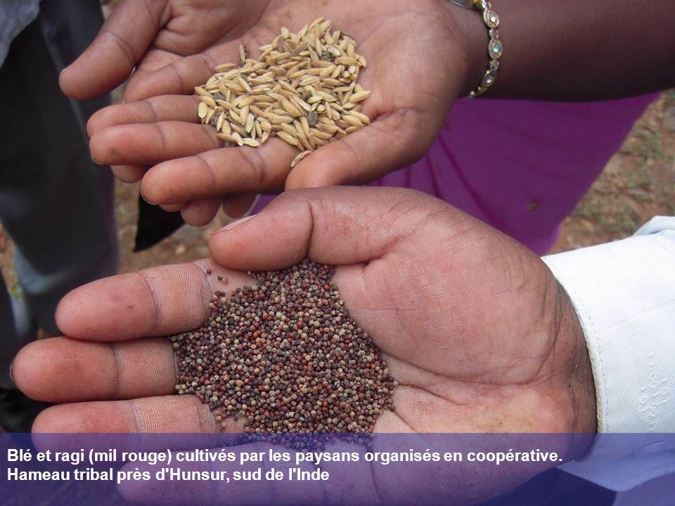 Blé et ragi (mil rouge) cultivés par les paysans organisés en coopérative. Hameau tribal près d'Hunsur, sud de l'Inde