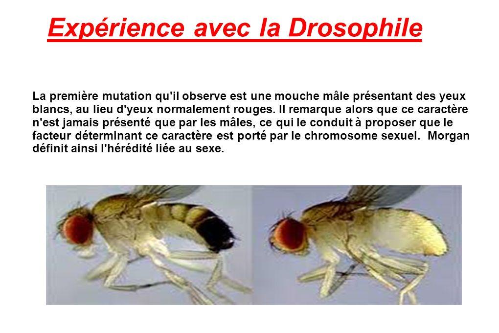 Expérience avec la Drosophile La première mutation qu il observe est une mouche mâle présentant des yeux blancs, au lieu d yeux normalement rouges.