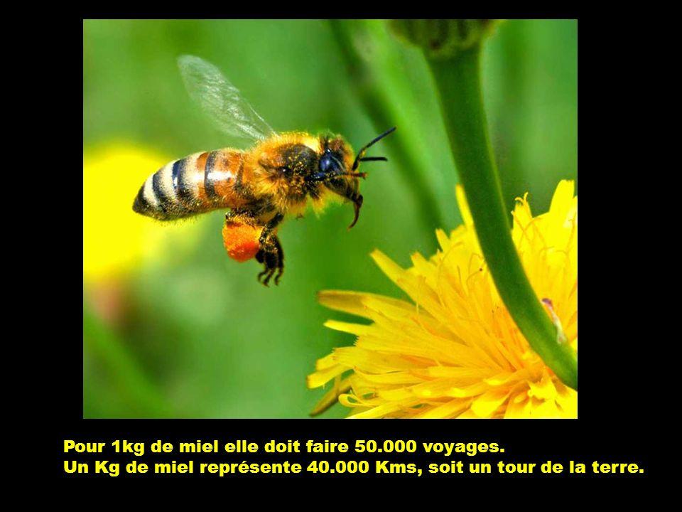 Elle ramène à la ruche la moitié de son poids soit 005 grammes. Elle fait une vingtaine de voyages par jour.